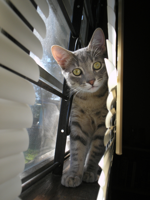 cat in window looking at camera