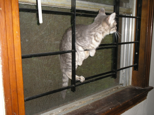 kitten climbing on bars of window