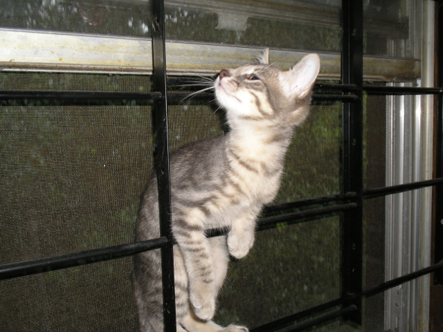 kitten climbing on window bars