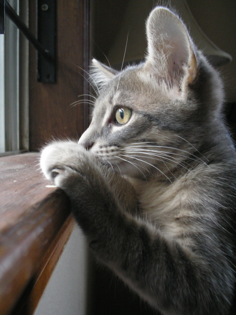 close-up of kitten looking out window